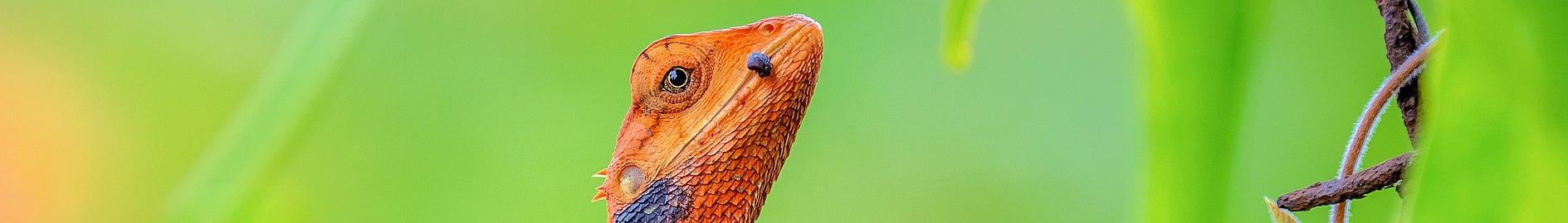Garden Lizard (গিরগিটি) (cropped).jpg