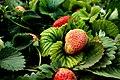 Garden of Five Senses Strawberry Plant.jpg