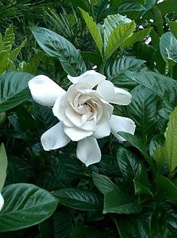 Gardenia jasminoides cv1