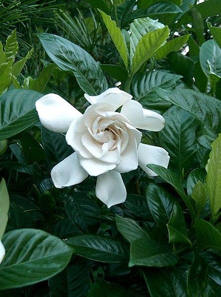 le gardenia fleurit en douceur