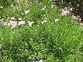 Gardenology.org-IMG 6542 hunt10jun.jpg
