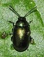 Gastrophysa-viridula-03-fws.jpg