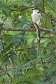 Gaviãozinho (Gampsonyx swainsonii).jpg