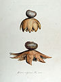 Geaster coliformis — Flora Batava — Volume v13.jpg