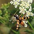 Gefleckter Schmalbock Rutpela maculata 0306.jpg
