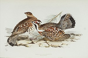 Hazel grouse - Hazel grouse