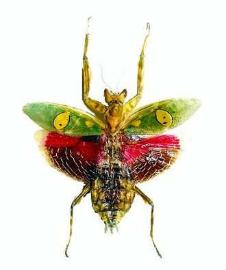 Flower mantis - The jeweled flower mantis, Creobroter gemmatus. Museum specimen showing brightly coloured wings, which are opened suddenly in a deimatic display to startle predators