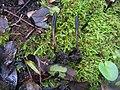 Geoglossum brunneipes S. Arauzo, A. Lebre & M. Becerra 302489.jpg