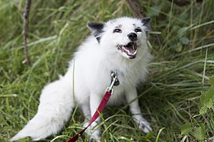 Domesticated red fox - Image: Georgian white Russian domesticated Red Fox
