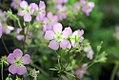 Geranium maculatum Elizabeth Ann 1zz.jpg