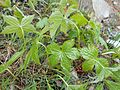 Geranium nodosum 2017-04-17 7587.jpg