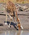 Giraffe (Giraffa camelopardalis) drinking ... (33040996431).jpg
