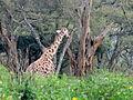 Giraffe in Giraffe Centre.JPG