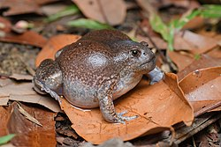 Glyphoglossus molossus, Blunt-headed burrowing frog - Mueang Loei District, Loei Province (47097003944).jpg