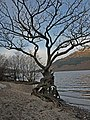 Gnarled Tree, Loch Lomond - geograph.org.uk - 1066961.jpg