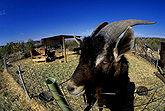 Goat USDA95c0074.jpg