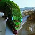 Gold dust gecko.jpg