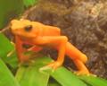 Golden Harlequin Frog.png