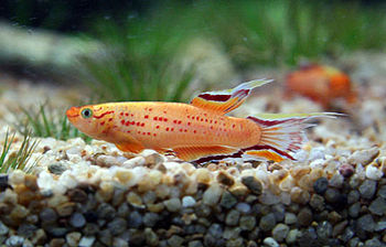 English: A golden lyretail killifish (Aphyosem...