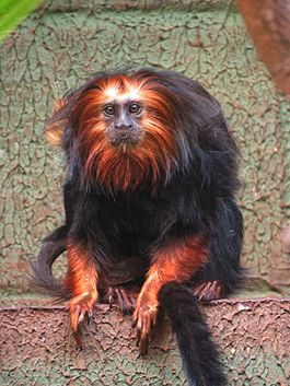 Golden head lion tamarin Sorocaba.JPG