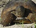 Gopher Tortoise - Flickr - Andrea Westmoreland.jpg