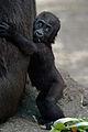 Gorila1-Madrid.jpg
