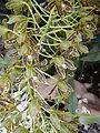 Grammatophyllummultiflorumjf9215 03.JPG