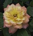 Grandiflora Rose MEIzolle Glowing Peace NBG LR.jpg