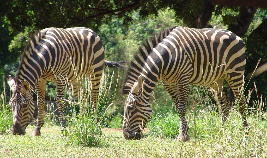 Grant's Zebra equus quagga bohmi