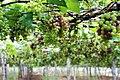 Grape Plant and grapes8.jpg