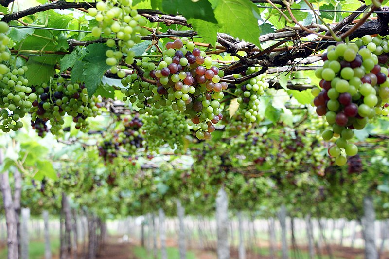 File:Grape Plant and grapes8.jpg