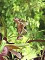 Graphium agamemnon - Tailed Jay mating at Ernakulam (4).jpg