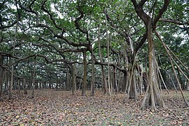 Great Banyan Tree - Howrah 2011-02-20 1675.JPG