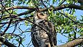 Great Horned Owl (8436594484).jpg