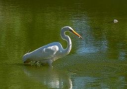Great egret in GWC (43583).jpg
