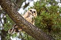 Great horned owlet, Mammoth Hot Springs (32c16102-4a35-40f8-aeda-8b1d76ae44f9).jpg