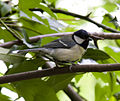 Great tit 1 (3573357948).jpg