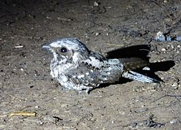 Greater Antillean Nightjar. Caprimulgus cubanensis - Flickr - gailhampshire.jpg