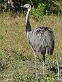 Greater Rhea (Rhea americana) (28234029614).jpg