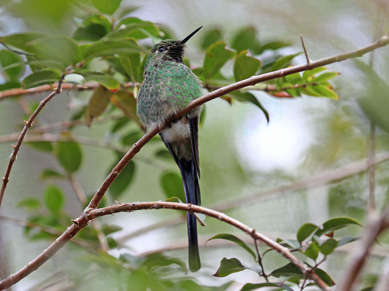 File:Green-tailed Trainbearer RWD.jpg