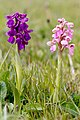 Green-winged Orchid (34151765890).jpg