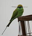 Green Bee-eater (Merops orientalis) with a dragonfly W IMG 2551.jpg