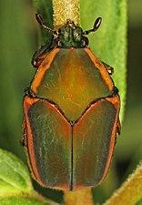 Green June Beetle - Cotinis nitida, Meadowood Farm SRMA, Mason Neck, Virginia - 01.jpg