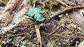 Green Tiger Beetle (8655936090).jpg