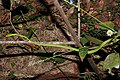 Green Vine Snake Ahaetulla nasuta Amboli by Dr. Raju Kasambe DSCN5160 (13).jpg