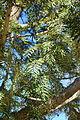 Grevillea robusta - Leaning Pine Arboretum - DSC05465.JPG