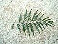 Grevillea robusta leaf 01.jpg