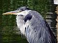 Grey Heron (Ardea cinerea) (24657282240).jpg