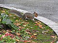 Grey Squirrel (30078472510).jpg
