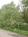 Grey poplars at Shipton Bridge - geograph.org.uk - 433594.jpg